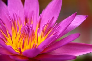 Colorful pink water lily in macro shot